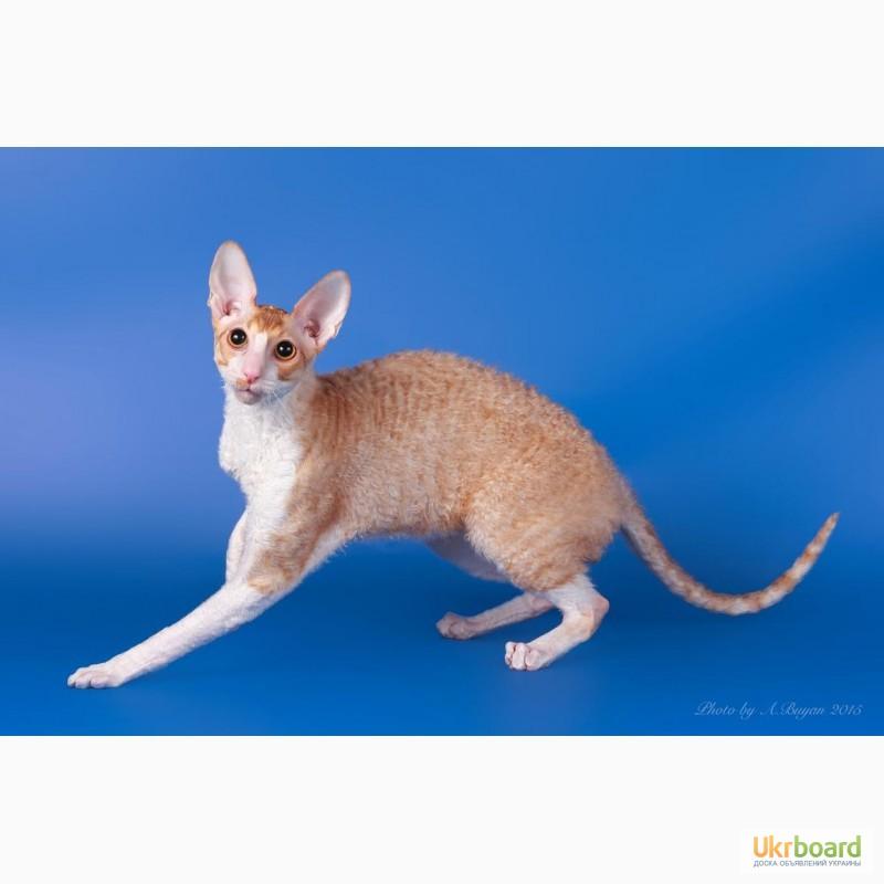 Фото 7. Котёнок корниш рекс