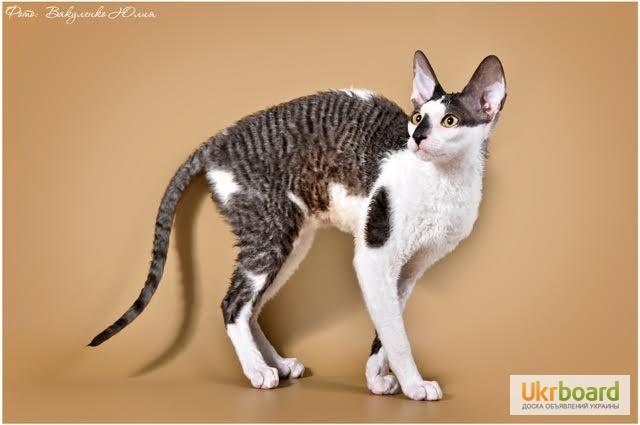 Фото 8. Котёнок корниш рекс