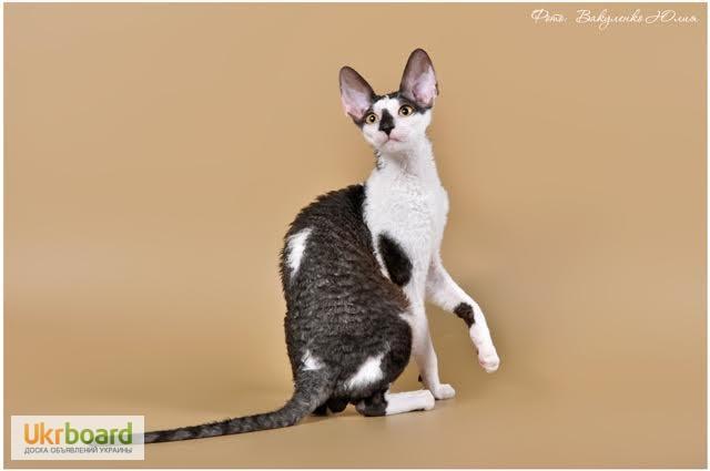 Фото 9. Котёнок корниш рекс