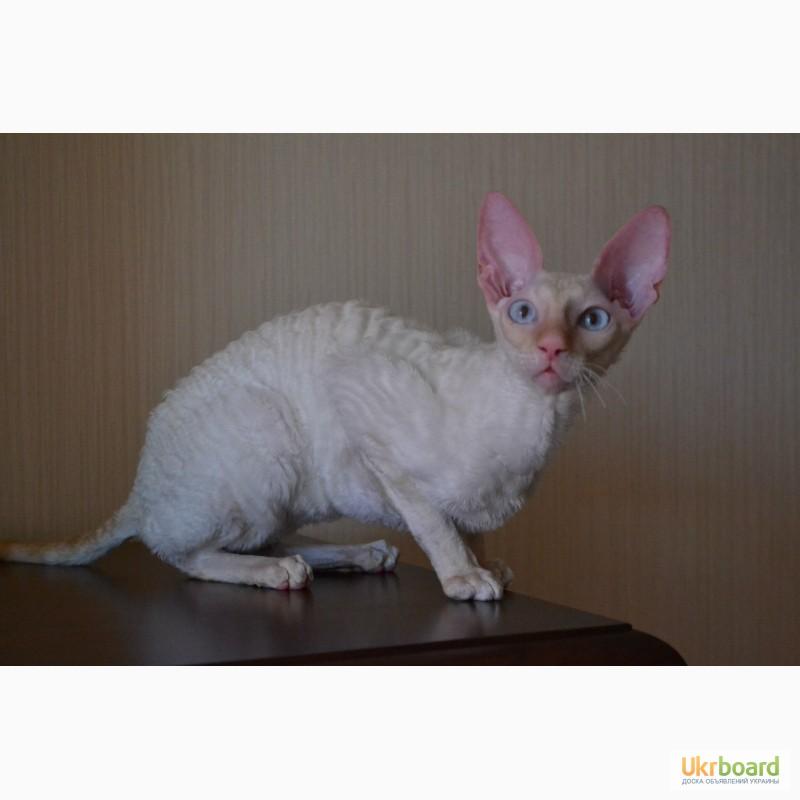 Фото 10. Котёнок корниш рекс