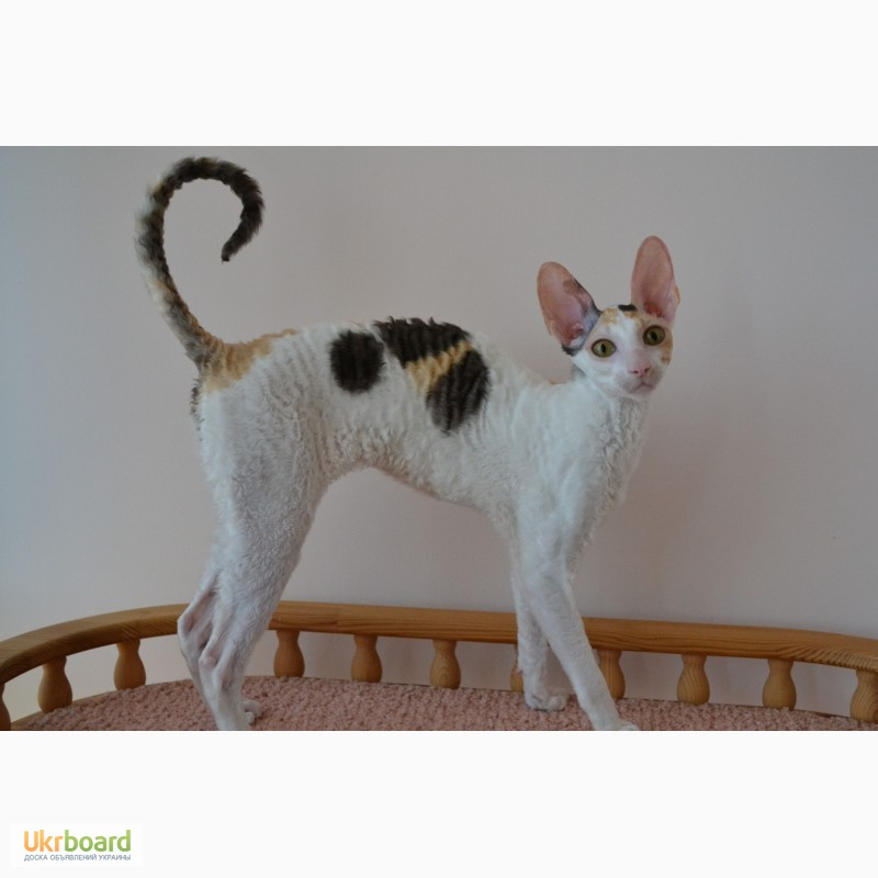 Фото 2. Котёнок корниш рекс
