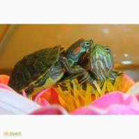 Красноухие черепахи, аксолотли, тритоны, лягушки! Доставка