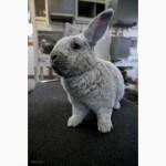 Предлагаются вашему вниманию Племенные кролики: Большое Светлое Серебро (БСС, Евросеребро)