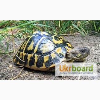 Греческая ручная черепашка или черепаха Германна размером 10-14 см
