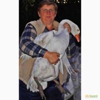 Продажа маточного поголовья гусей породы Мамут