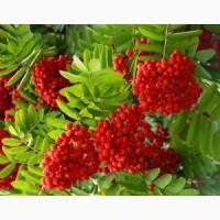 Куплю свіжозібрані плоди горобини (рябину красную), бузину, каштани
