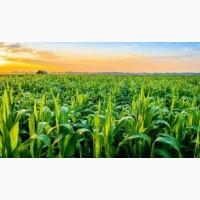 ЛЮБАВА 279 СВ ФАО 270 семена кукурузы