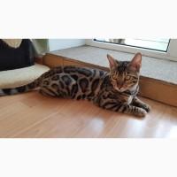 Продажа бенгальских котят Киев