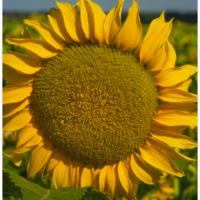 Семена подсолнечника НС Орфей от заразихи