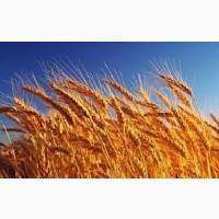 Озима пшениця Бонанза