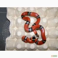 Продам большое разнообразие экзотических разводных змей и ящериц.