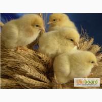 Суточные цыплта за зерно