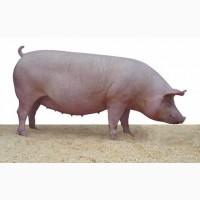 Продам свиноматку 200кг