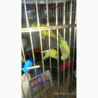 Теплое и красивое чириканье молодых самочек попугайчиков