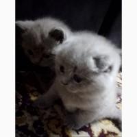 Плюшевые шотландские котята Scottish fold, Scottish straight