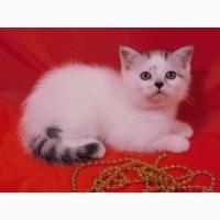 Нежный плюшевый котик скоттиш страйт