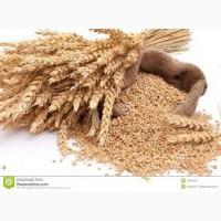 Куплю пшеницу, возможен самовывоз