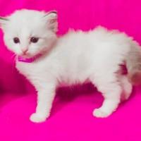 Продаём котёнка мальчик 1м