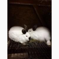Продам порісні самки кроликів каліфорнії