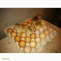 Продам инкубационное яйцо