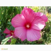 Гибискус травянистый - семена