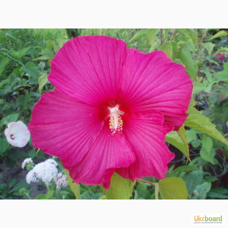 Травянистые гибискусы выращивание из семян 53