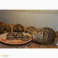 Сухопутная балканская черепаха или Южно-европейская черепаха