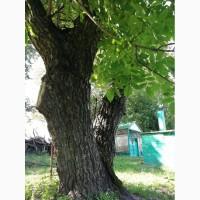 Дерево орех не обрезной