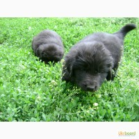 Продам щенков ньюфаундленда 2 месяца. 1 мальчик и 2 девочки