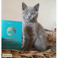 Клубный котенок породы Scottish Straight, 3 мес, с международным паспортом, Киев
