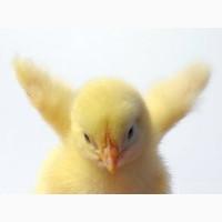 Суточні курчата / Курчата бройлер КОББ-500, курчата бройлери