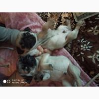 Продам щенков породы мопс