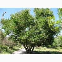Продам древесину шелковицы, (тутового дерева)