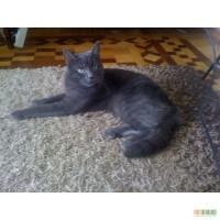 Отдам кота даром Русская голубая.
