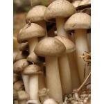 Мицелий опенка зимнего, семена разных штаммов опят, вешенки, шампиньона, шиитаке