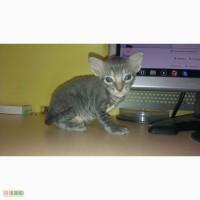 Продам котёнка породы Корниш-рекс