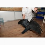 Черный ворон Крук - самая умная птица