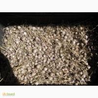 Продам семена озимого чеснока-(однозубка)