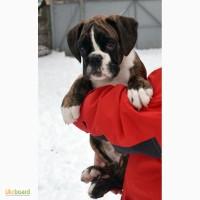 Немецкий боксер - щенки