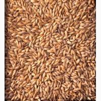 Продам Ячмень продовольственный, фуражный оптом от производителя
