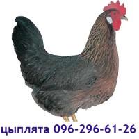 Доминант куропатчатый, суточные цыплята