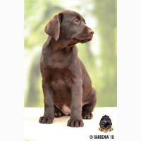 Шоколадные щенки лабрадор ретривер