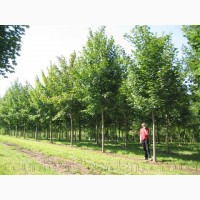 Продам саженцы Клена и много других растений (опт от 1000 грн)