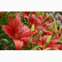 Продам луковицы Лилий и много других растений (опт от 1000 грн)