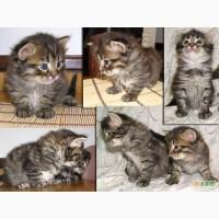 Дарю. Сибирские котята. Бесплатно.
