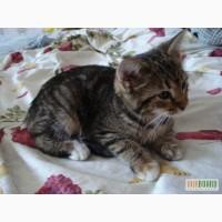 Котенок-метис сибирской кошки ищет дом!