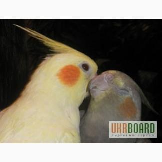 Кореллы и другие мелкие породы попугаев