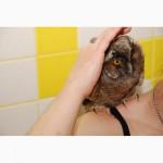 Сова вухата - дуже розумне і чарівне створіння