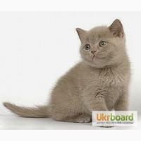 Продам шотландских котят (прямоушки)