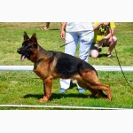 Высокопородные щенки немецкой овчарки КСУ